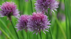 Violet chives flower Stock Footage