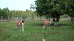 Lamas walking in the zoo Stock Footage