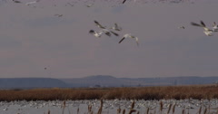 Golden evening light on flapping wings of snow geese over marsh Stock Footage