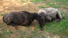 Black sheep on a meadow at daytime Stock Footage