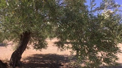 Olive trees plantation. The camera moves slowly between the olive trees, Jaen, S Stock Footage