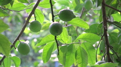 Green Fresh Lemons on Tree Hd Video Stock Footage