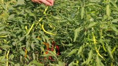 Harvesting Green and Red Pepper Hd Video Stock Footage