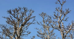 Lifeless Trunks and Branches of Trees against a Blue Sky Stock Footage