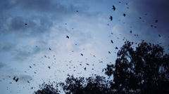 A flock of crows flying over the trees Stock Footage