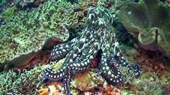 Common reef octopus swimming and hiding between coral Stock Footage
