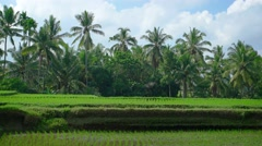 Palm Trees over a Rice Plantation in Bali, Indonesia Stock Footage