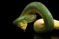 Green Tree Python. Morelia viridis. Isolated black background Stock Photos