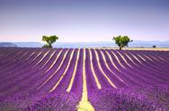 Lavender and two trees uphill. Provence, France Stock Photos