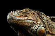 Closeup Green Iguana Isolated on Black Background Stock Photos