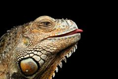 Close-up Green Iguana Isolated on Black Background Stock Photos