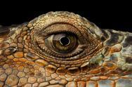 Closeup Eye of Green Iguana, Looks like a Dragon Stock Photos