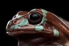 Australian green tree frog, or Litoria caerulea isolated black background Stock Photos