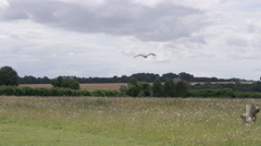 4K Bird of prey in flight in natural environment. No people.  Stock Footage