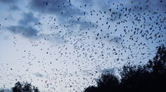 Thousands of birds flying over the forest Stock Footage