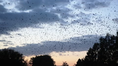 Thousands of birds flying in the sky above the town Stock Footage