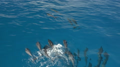 AERIAL: Pod of happy dolphins swimming and jumping in crystal clear blue ocean Stock Footage