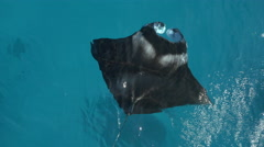 AERIAL, CLOSE UP: Manta ray swimming just below the surface of blue ocean Stock Footage