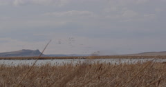 Wide angle pan of snow geese streaming off of windy marsh Stock Footage