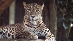 Lone Jaguar Rests in the Shade at the Zoo Stock Footage