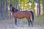 Bay Arabian Mare standing at pasture Stock Photos