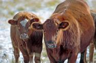 Hereford Cow  and Calf at winter pasture. Stock Photos