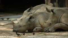 Three Mature Rhinoceroses Resting in the Shade at the Zoo Stock Footage