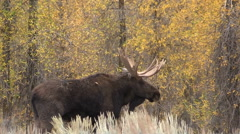 Bull Shiras Moose in Fall Stock Footage