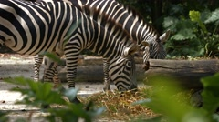 Pair of Zebras Grazing at the Zoo Stock Footage