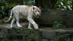 White Tiger Paces on a Rock at the Zoo, with Sound Stock Footage