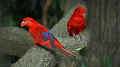Pair of Beautiful Red Lorikeets at the Zoo Stock Footage