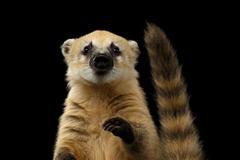 South American coati, Nasua Isolated on Black Background Stock Photos