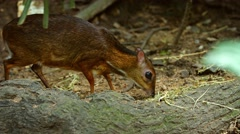 Javan Mouse Deer Grazing at the Zoo, with Sound Stock Footage