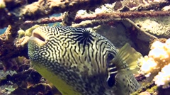 Map pufferfish (Arothron mappa) eating, close up head Stock Footage