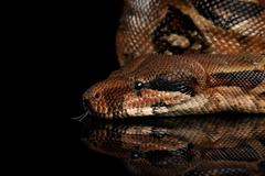 The Boa constrictors, isolated on black background Stock Photos