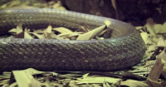 Closeup of a Large Snake with Brown Skin Stock Footage