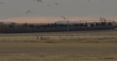 Snow geese flying over wheat stubble in early morning light Stock Footage