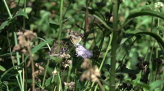 Super slo mo group of Bordered Patch butterflies on flower depart Stock Footage