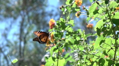 Super slo mo painted lady butterfly departs from flower 3 Stock Footage