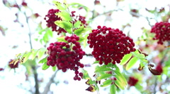 Ripe red rowan on a branch Stock Footage