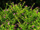 False Heather or Cuphea hyssopifolia Stock Photos