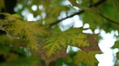 Autumn maple leaves close-up. Windy and cloudy weather. Stock Footage