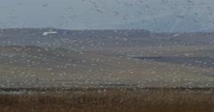 Wide space flock of snow geese landing marsh below mountain Stock Footage