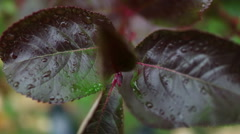 Pigmented red leaves and fruits chokeberry Stock Footage