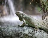 Green iguana in a tropical forest near pond Stock Photos