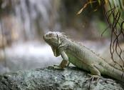 Big iguana with scaly skin near tropical waterfall Stock Photos