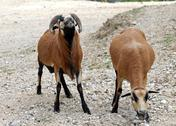 Two young rams with brown fur Stock Photos