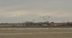 Pan of snow geese flying and landing in wheat field in Montana Stock Footage