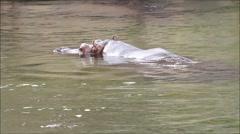 Hippo (Hippopotamus amphibius) swimming in water Stock Footage