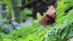 Butterfly blue (Morpho peleides) on leaves Stock Footage